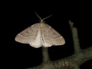 Theria rupicapraria (DENIS & SCHIFFERMÜLLER, 1775)N